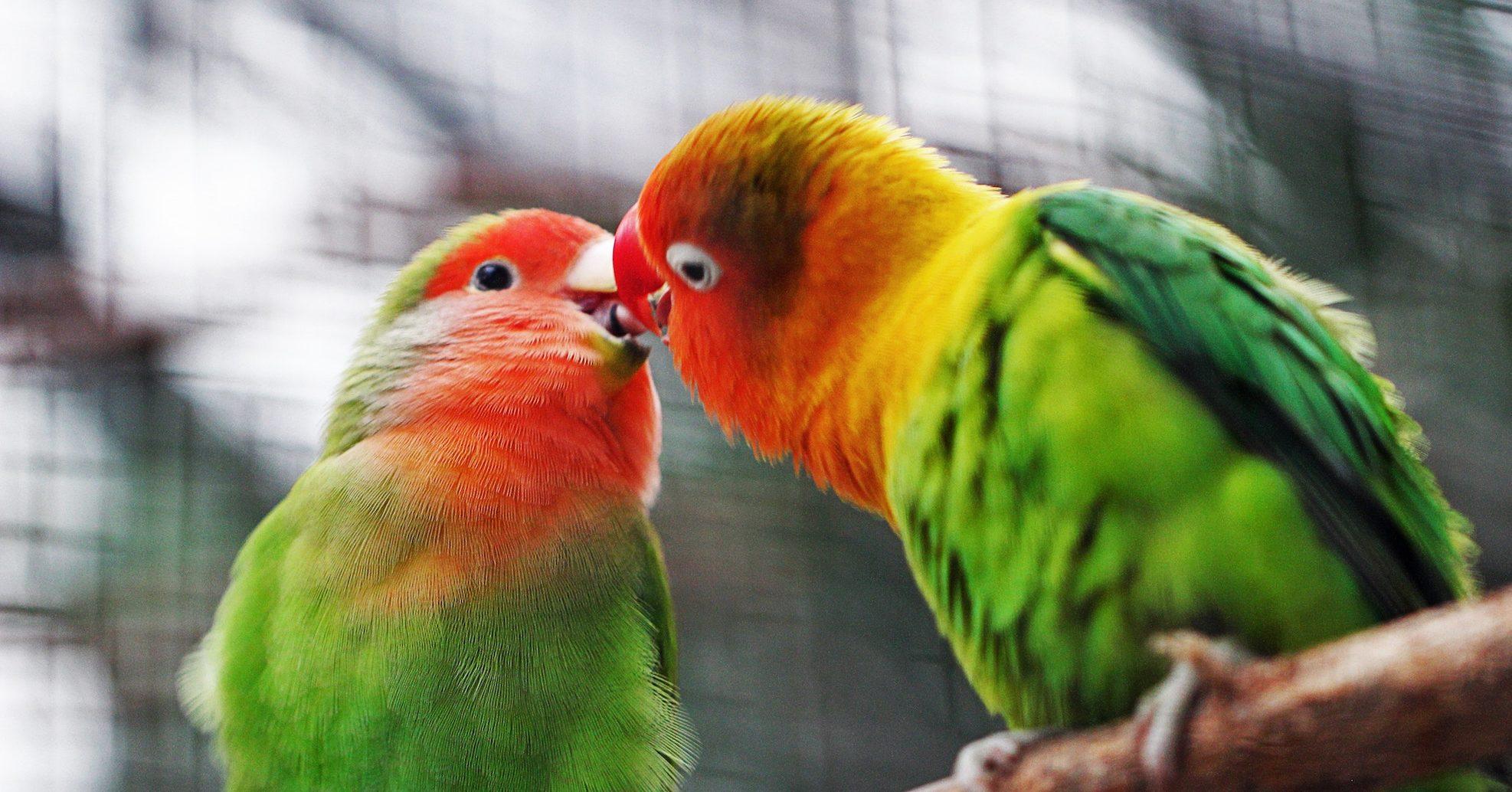 Vogelkuss: Frauen rumkriegen